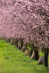 blossoming-trees-in-marin