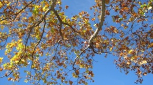 Beautiful blue fall sky behind yellow, orange and rust leaves, signifies change in nature and in life.